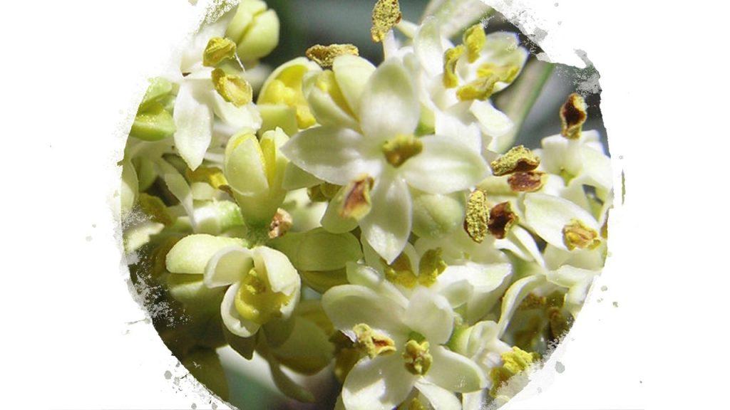 Olivo Flor de Bach